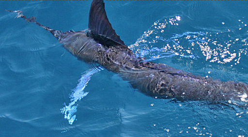 billfish stripe