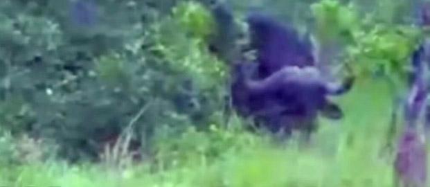 wild video