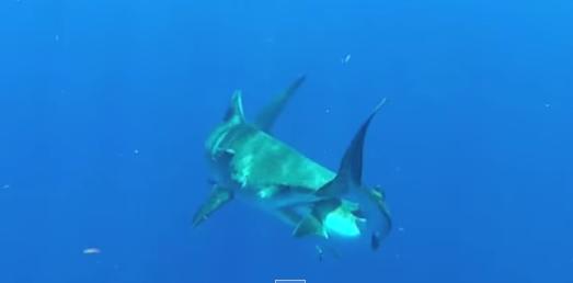 shark eating