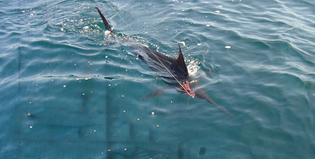 socal billfish