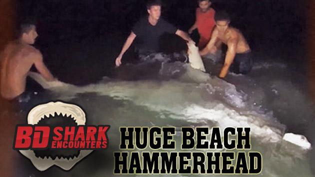 Big Hammerhead