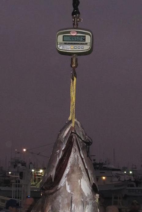 445 pound yellowfin tuna