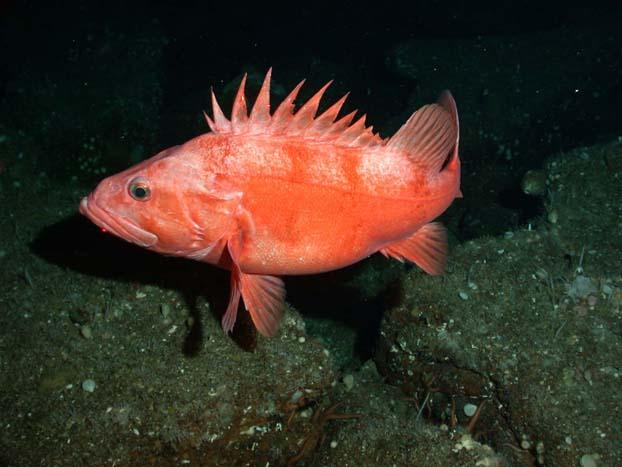 New calif rockfish regulations for California fish and game regulations