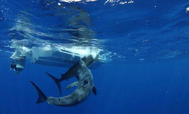 Mako Eats Marlin Australia