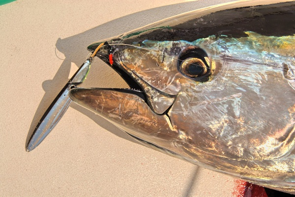 Bluefin Tuna Small Boat