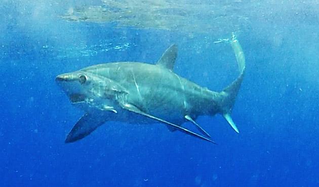 Shark Encounter Capt Nick Stanczyk