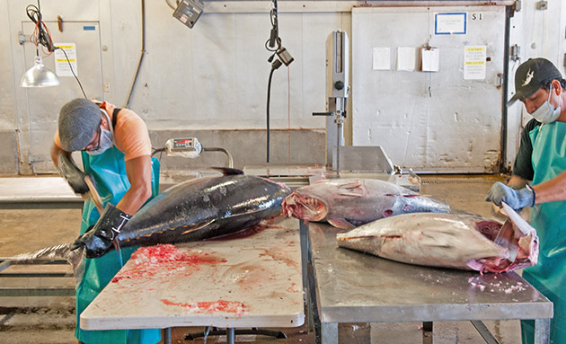 cutting and cleaning tuna