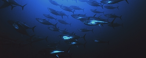 Bluefin Tuna Bycatch