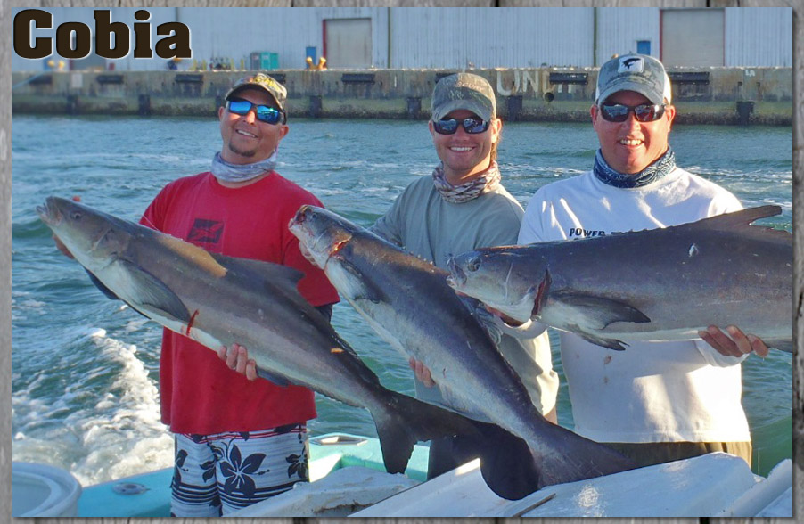 cobia fishing tips