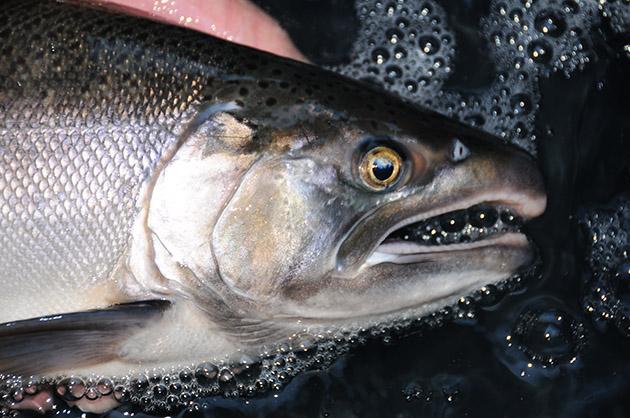CA Salmon