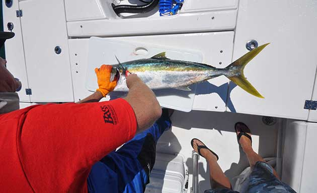 yellowtail marine inc case Yellowtail marine inc hbr case solution & harvard case analysis the gag can be found on shallow reefs over rocks and reefs all through florida and they're normally caught about 25 kilos after they get as significant as.