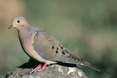 California Dove Hunting