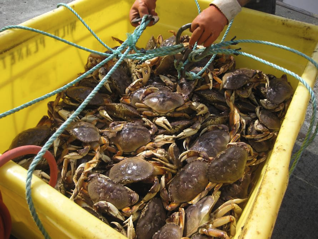 Commercial Dungeness Crab Season