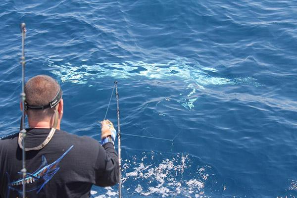 albino blue marlin