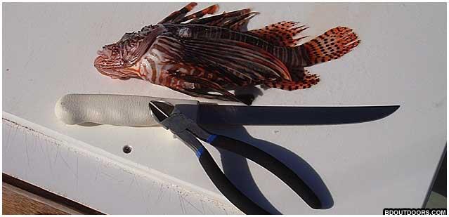 filleting lionfish