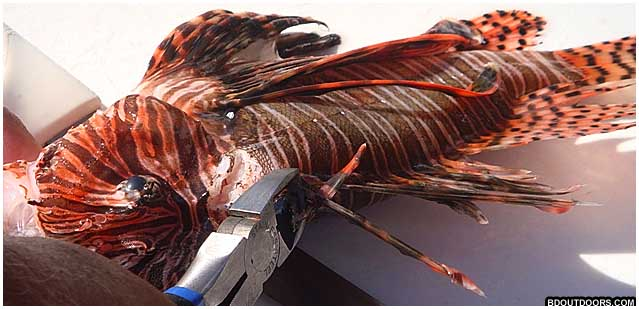 cutting spines off lionfish to safely fillet them