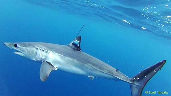 Mako Shark Makes Epic Journey