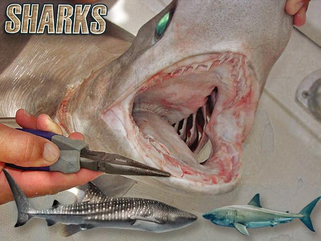 bds ten days sharks