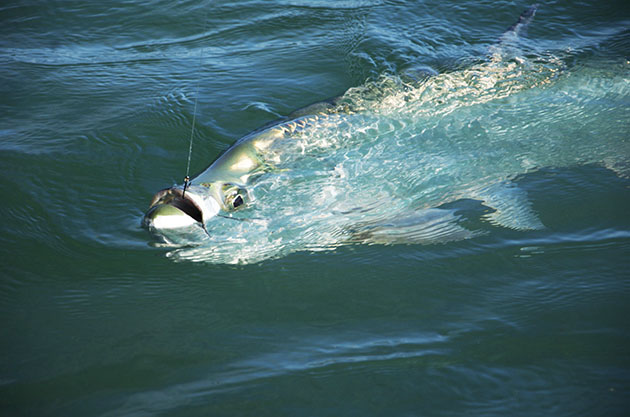 fishing tarpon