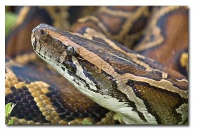 everglades pythons