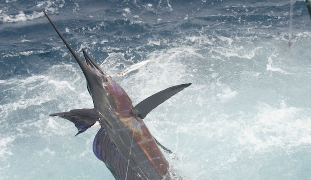 billfish sale