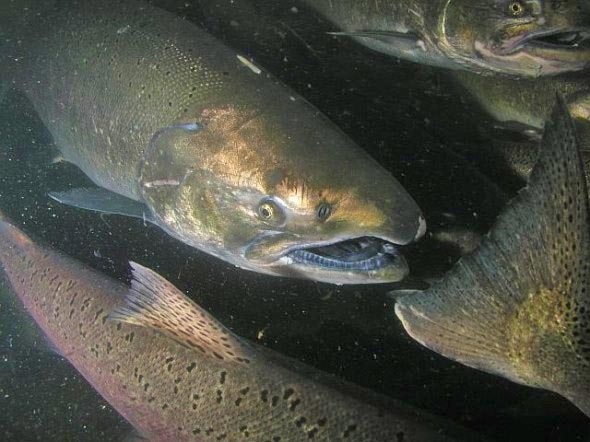 Salmon Dam Removal