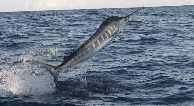 IGFA billfish conservation act
