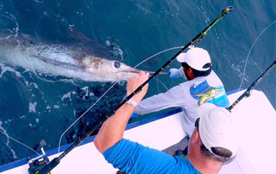 striped marlin tournament