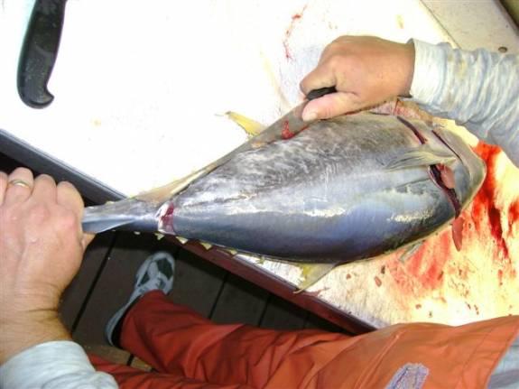 cleaned tuna fish