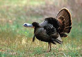 Louisiana turkey