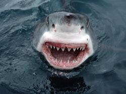 California white shark