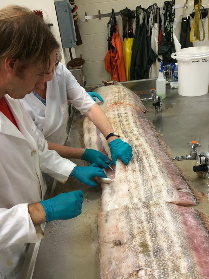 oarfish pictures