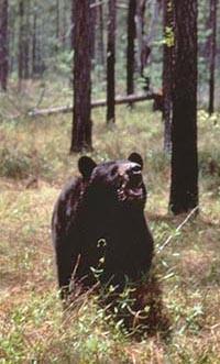 bear fwc