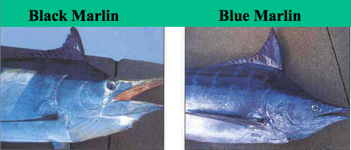 marlin comparison