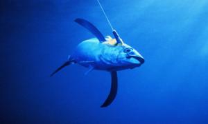 tuna winter