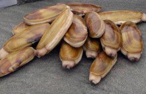 razor clam shellfish