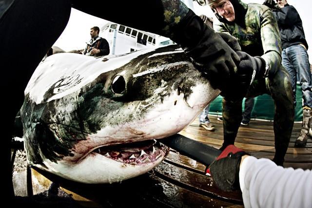 ocearch sharks