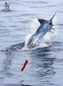 billfish tagging