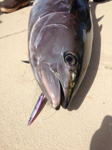 tuna jigs - Weekend Recap Bluefin Fever