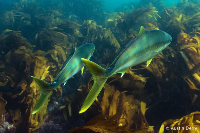 fishing yellowtail