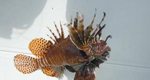 lionfish injury