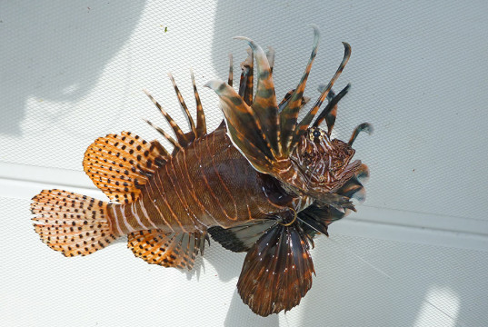 lionfish injury