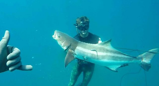 cobia spearfishing