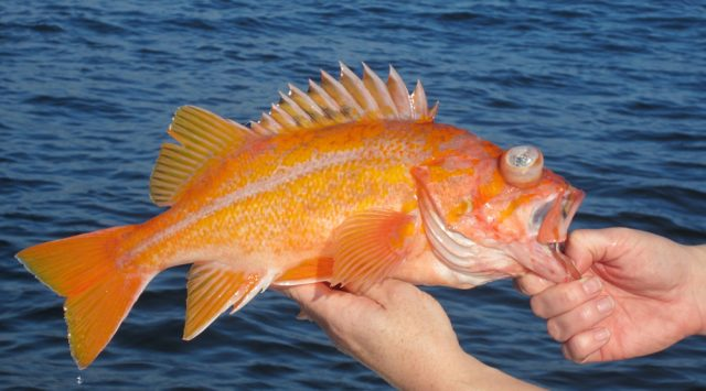 canary rockfish - Canary Rockfish Open Season