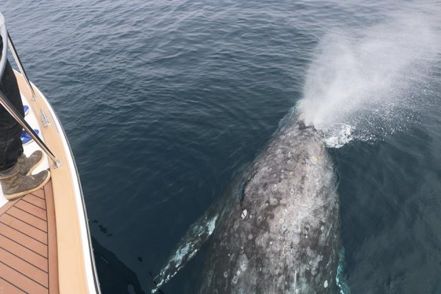 gray whale big
