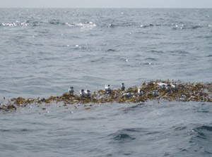 fishing kelp
