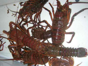 CDFW Lobster Report Cards