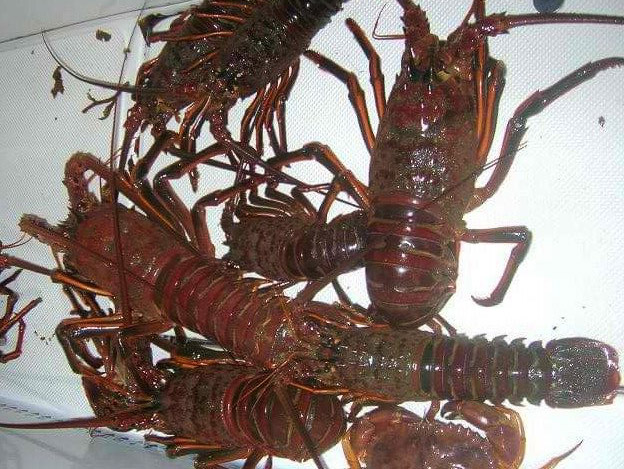 CDFW lobster report cards due April 30th
