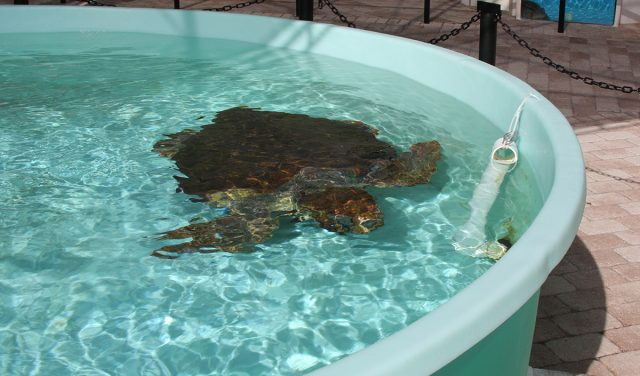 turtle conservation to improve marine life