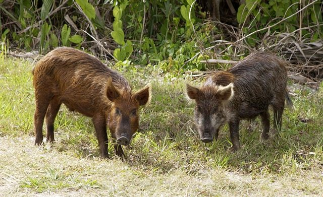 cdwf questions Wild pigs